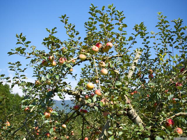 湖畔りんご園